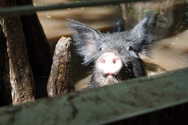 wild-pig